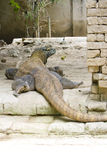 Komodo dragons , Indonesia Stock Photos