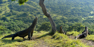 The Komodo Dragons on island Rinca.The Komodo dragon, Varanus komodoensis Royalty Free Stock Photos