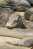 Komodo Dragons at Rinca Island, Indonesia. stock photo