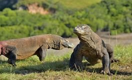 Komodo dragons  Varanus komodoensis  in natural habitat. Bigges Stock Photography