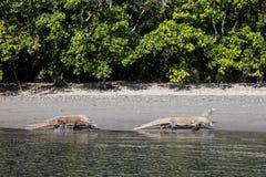 Komodo Dragons Walking on Beach Stock Image