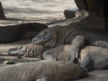Komodo Dragons in the wild. Seemingly placid, 3 meter long 200 kg wild Komodo dragons lying under a stilted hut at the rangers station on Rinca Island. Komodo Stock Photo