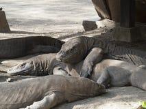 Komodo Dragons in the wild. Seemingly placid, 3 meter long 200 kg wild Komodo dragons lying under a stilted hut at the rangers station on Rinca Island. Komodo Royalty Free Stock Photo