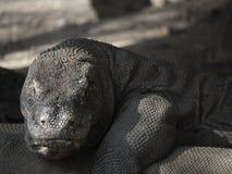 Komodo drakar i det löst Arkivfoto