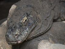 Komodo drakar i det löst Fotografering för Bildbyråer