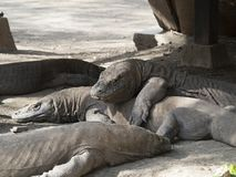Komodo drakar i det löst Royaltyfri Foto