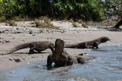 Komodo drakar i hästskofjärden, Komodo nationalpark Arkivfoto