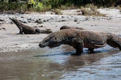 Komodo drakar på den Rinca ön i den Komodo nationalparken Fotografering för Bildbyråer