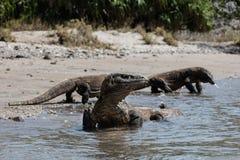 Komodo drakar på stranden i den Komodo nationalparken Arkivbilder