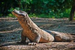 Komodo drake Arkivfoton