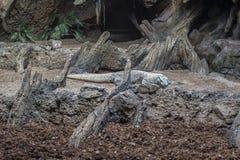 Komodo drake Royaltyfri Foto