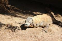 Komodo drake royaltyfri fotografi