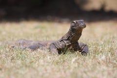 Komodo drake Royaltyfri Bild