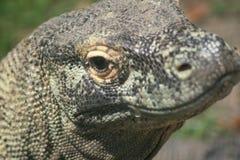 Komodo drake Arkivbild