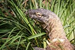 Komodo drake i gräs på zoo Arkivfoton