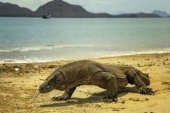 Komodo drake Indonesien Arkivbild