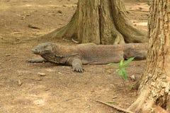 Komodo drake, Komodo ö Fotografering för Bildbyråer