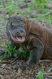 Komodo drake med den öppna munnen Arkivfoto