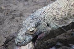 Komodo drake - nära övre äta kött och svälja som är helt royaltyfria bilder