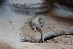 Komodo drake på zoo Praha royaltyfria bilder