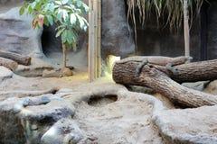 Komodo drake på zoo Praha royaltyfri foto