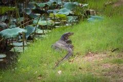 Komodo drake som är störst i den bosatta ödlan för värld i naturlig hab Arkivbild