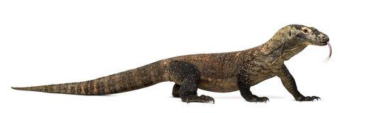 Komodo drake som ut klibbar tungan, isolerat på vit royaltyfria bilder
