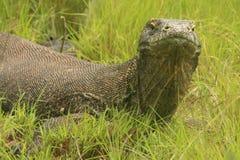 Komodo drake (Varanuskomodoensisen), Rinca ö, Royaltyfria Foton