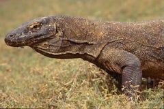 Komodo drake, waran, bildskärmödla, en farlig reptil royaltyfri bild