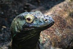 Komodo drakeVaranus Komodoensis förbluffa den giftiga ödlan royaltyfri foto