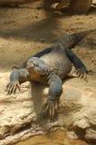 Komodo Drgon Stock Foto's