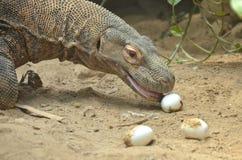 Komodo eats eggs. A large komodo dragon eats eggs as enrichment Stock Images