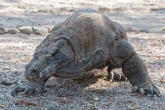 Komodo island. Dragon indonesia asia Royalty Free Stock Photo