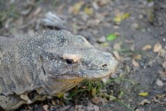 Komodo Lizard Stock Images