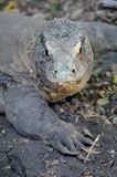 Komodo Lizard Stock Photos