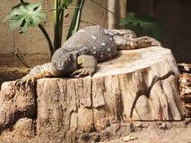 Komodo lizard. Komodo lizard resting on a log Royalty Free Stock Image