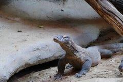 Komodo lizard Stock Image