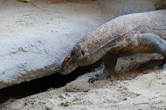 Komodo lizard Stock Photography