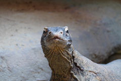 Komodo lizard Royalty Free Stock Photography
