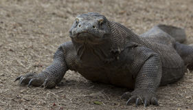 Komodo looking Royalty Free Stock Photography