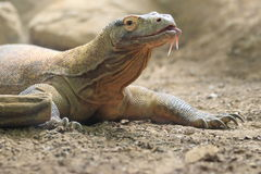 Komodo monitor Royalty Free Stock Photography