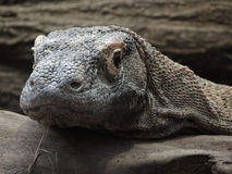 Komodo monitor lizard Stock Photography