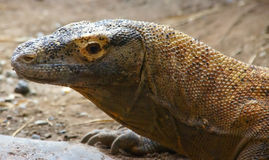 Komodo monitor lizard Stock Photo