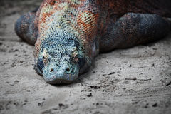 Komodo monitor lizard rests on the sand Royalty Free Stock Photography