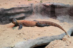 Komodo monitor Royalty Free Stock Images