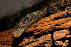 Komodo New Guinea Royalty Free Stock Images