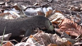 Komodo reptile crawls among the leaves stock footage