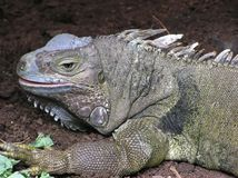 Komodo Smok Zdjęcia Stock