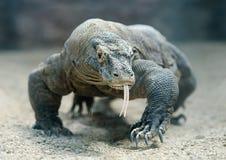 Komodo smok Obrazy Royalty Free