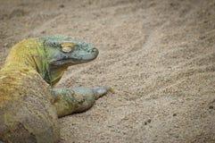 Komodo Smok Obrazy Stock